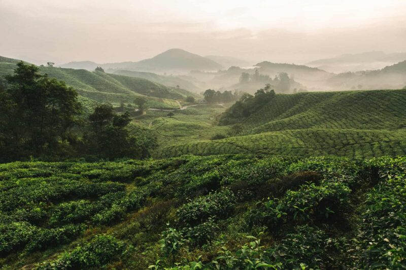 cameron-highlands-tea-plantation